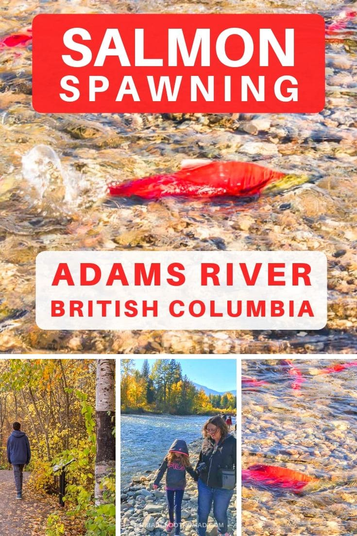 salmon spawning in the rivers of British Columbia at Adams River