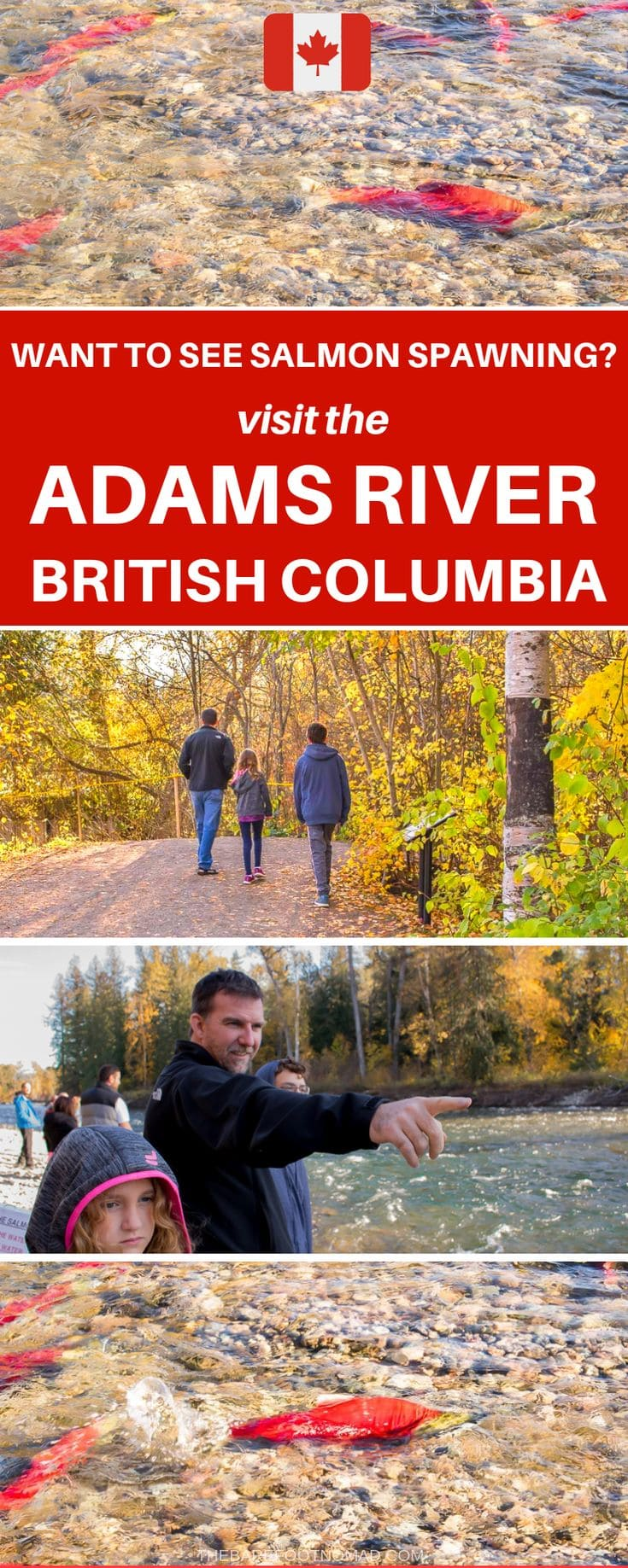 Where to see salmon spawning in British Columbia at the Adams River BC