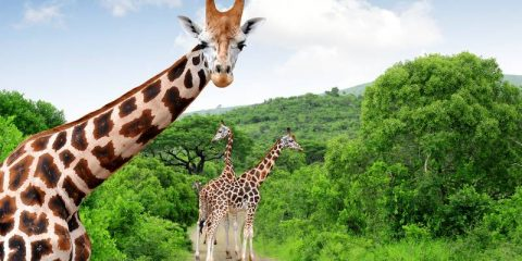 Giraffes in Kruger park South Africa one of the best places to visit in South Africa