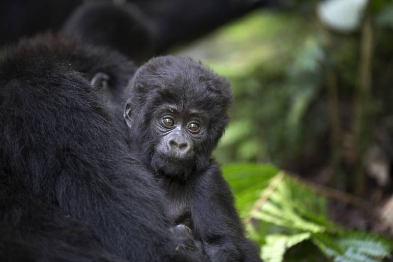 baby mountain gorilla in Uganda