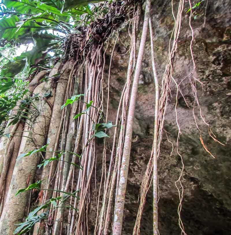 Vines at Cenote Dos Ojos