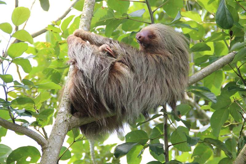 a sloth hanging out in Costa Rica