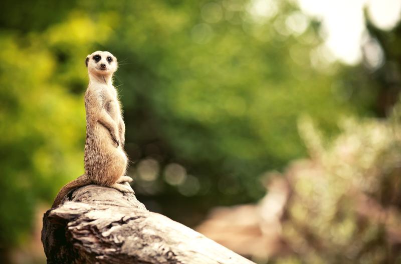 meercat at the London Zoo DP