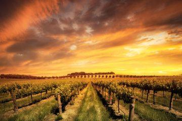 Best Wine Regions in Australia Adelaide vineyard at sunset