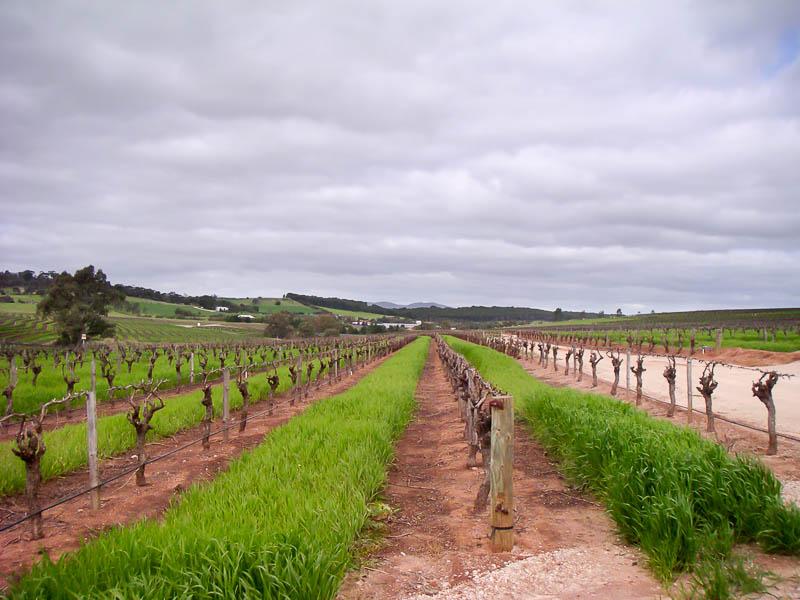 Vineyard at Jacobs Creek Winery Barossa Wine Region Australia