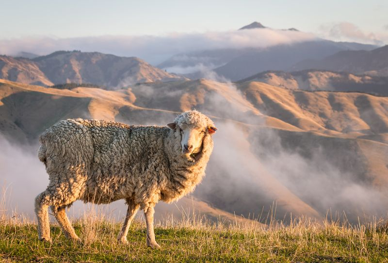 Merino sheep by the mountains
